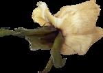creme_rose_dried3.png