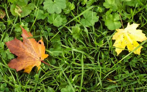 Пара осенних листьев в зеленой траве