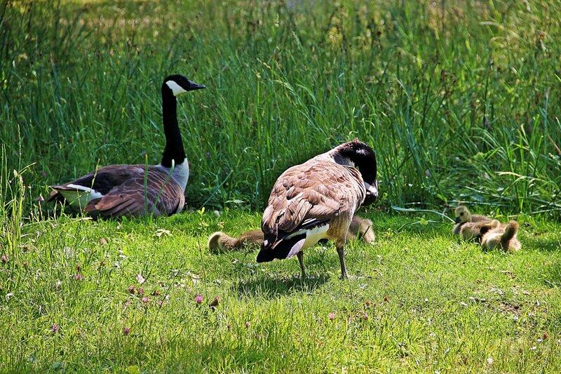 Семейство канадских казарок