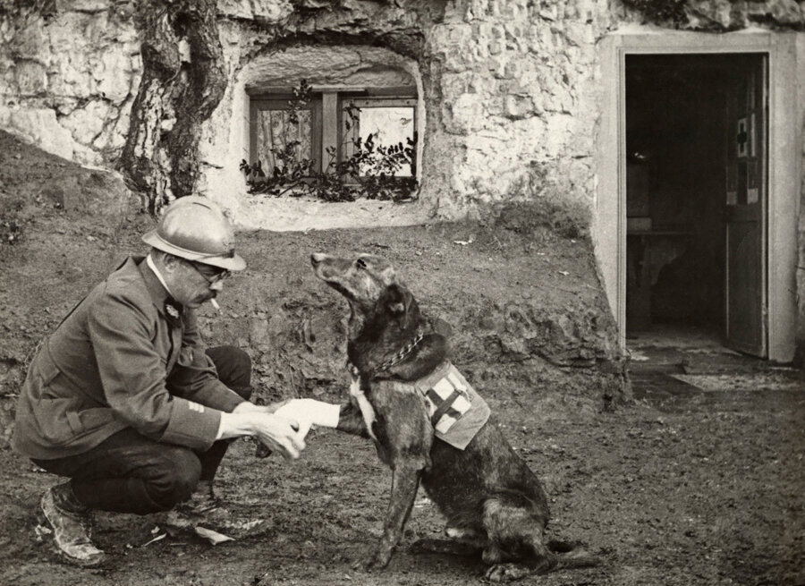 A WWI allied soldier bandages the paw of a Red Cross working dog in Flanders, Belgium, May 1917
