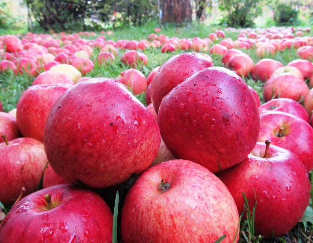 Яблоко от яблони недалеко падает