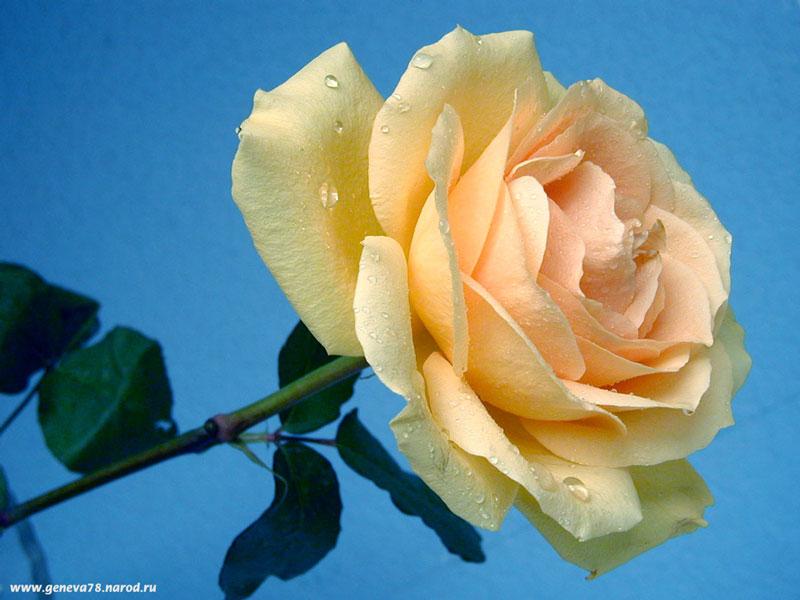 Нежная роза кремовая
