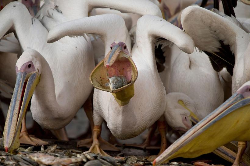 Подводная охота пеликанов.