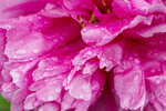 Peony Petals after rain with water drops