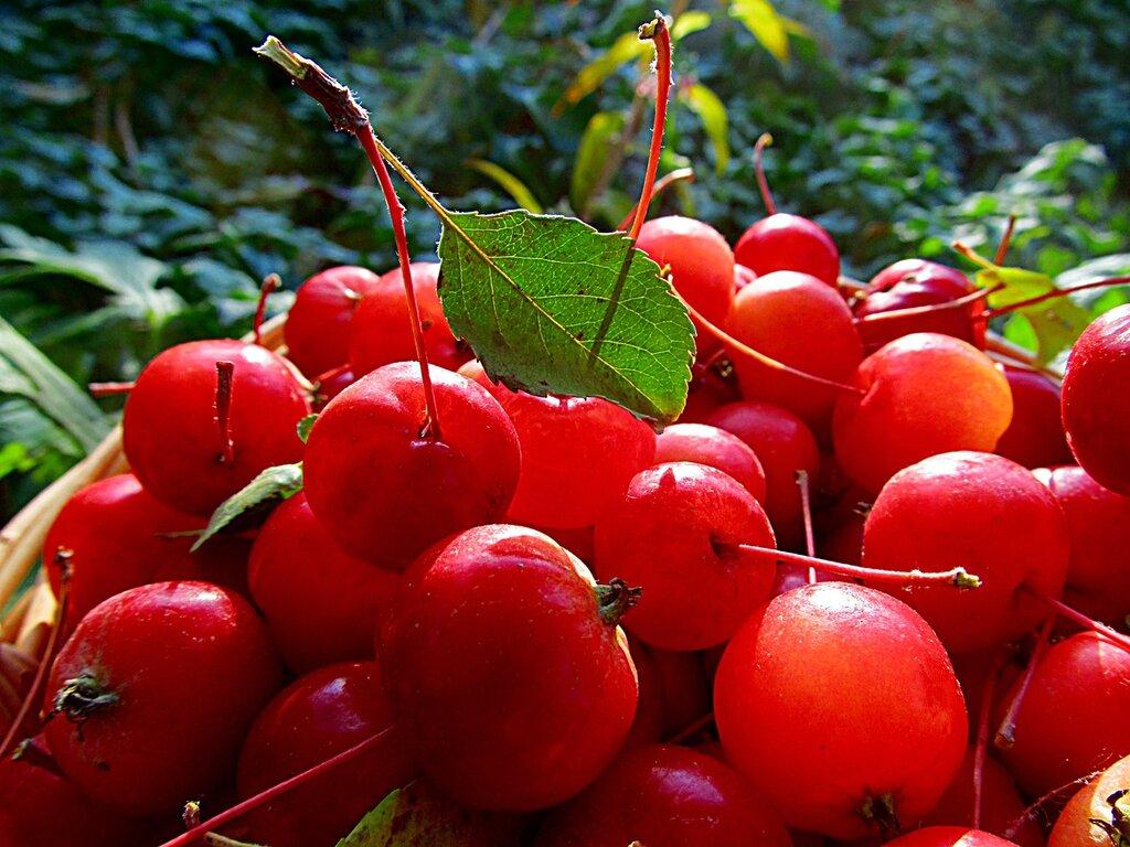 IMG_3510.jpg  Светится яблоко спелостью лета...