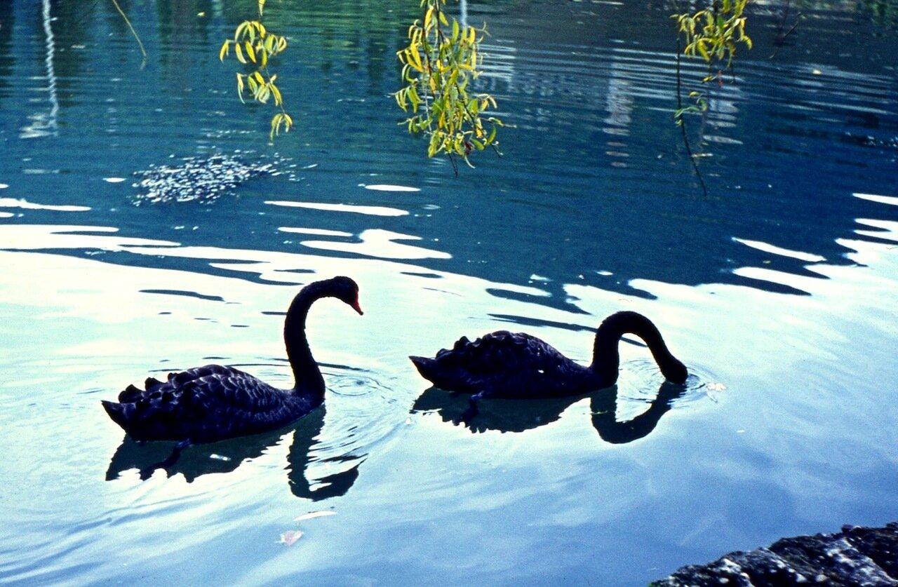57. ...и  чёрные   лебеди