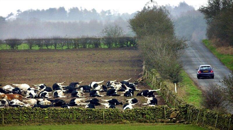 После расстрела мирных коров...
