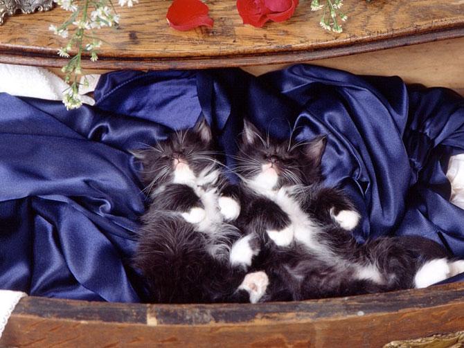 кошки - спят на шелковой простыне