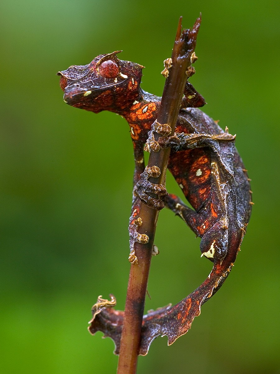 Fantastic Leaf-tail Gecko (Uroplatus phantasticus) clinging to a twig, Madagascar