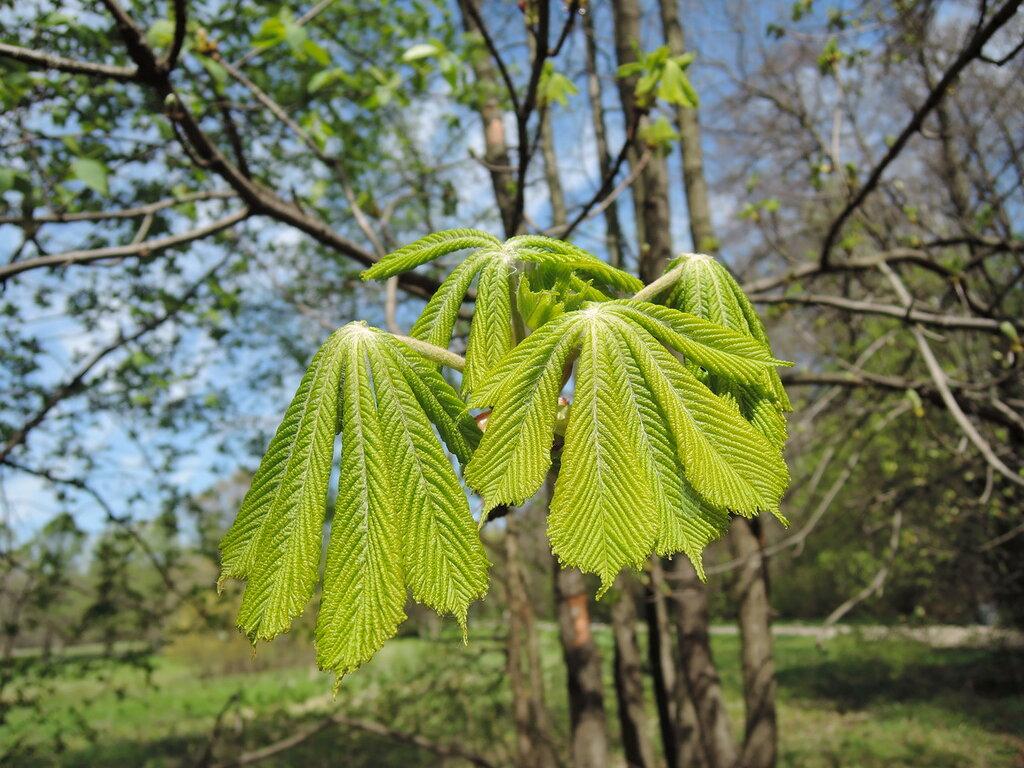 Измайловский парк. Листья каштана.