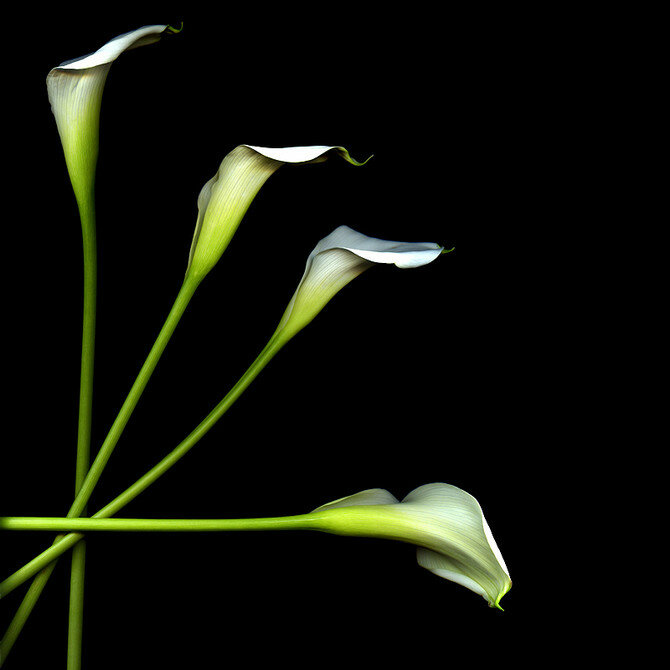 Цветы Magda Indigo