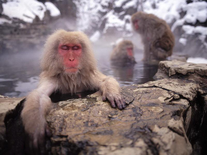 Мавпи в ваннах