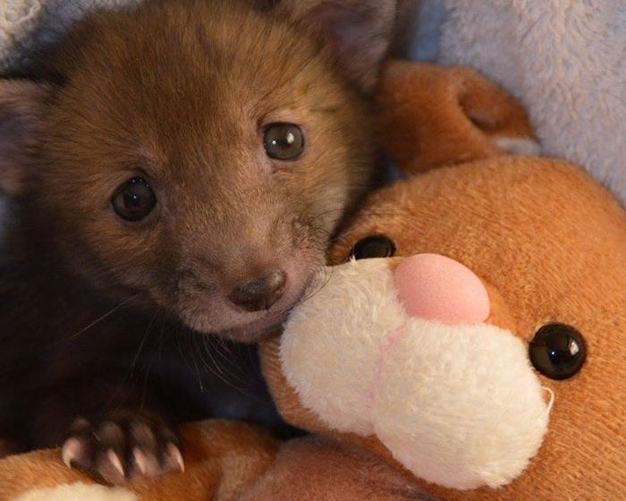 Милота в кубе: спасенный лисенок жить не может без плюшевого кролика (12 фото)