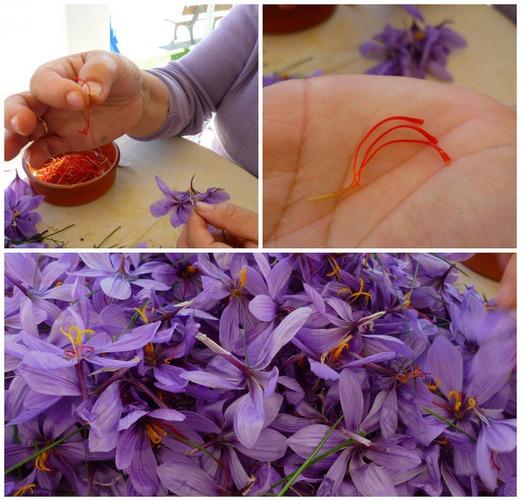 14. Шафран получают из высушенных рылец цветков. Причем для получения одного килограмма этой пряност