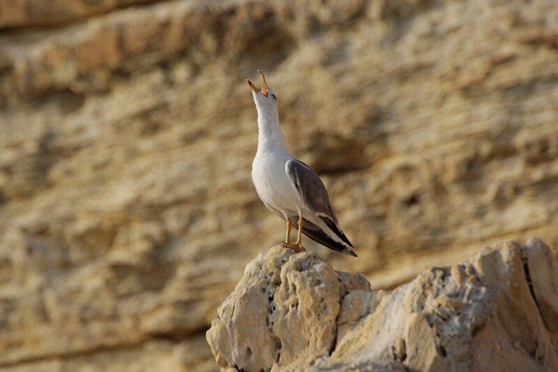 Средиземноморская чайка (Larus michahellis) кричит, поднявши голову, на камне около мыса Фиолент в Крыму