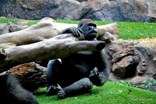 горилла, лоро парк