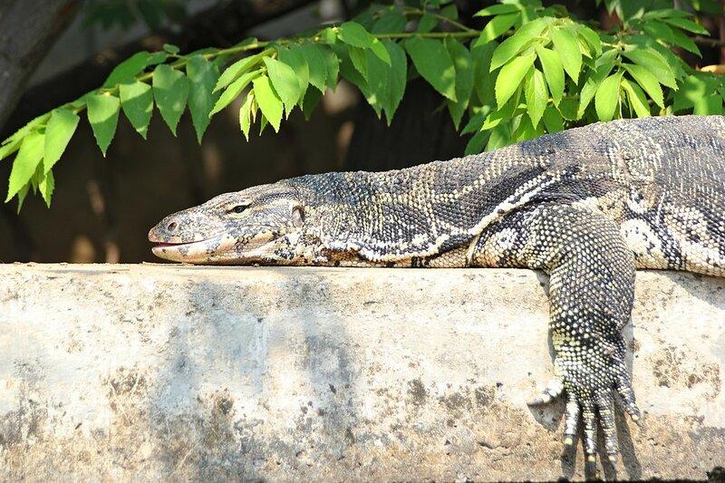 Варан греется на солнце на бетонном ограждении канала Khlong Chak Phra - Полосатый варан (лат. Varanus salvator) в Таиланде