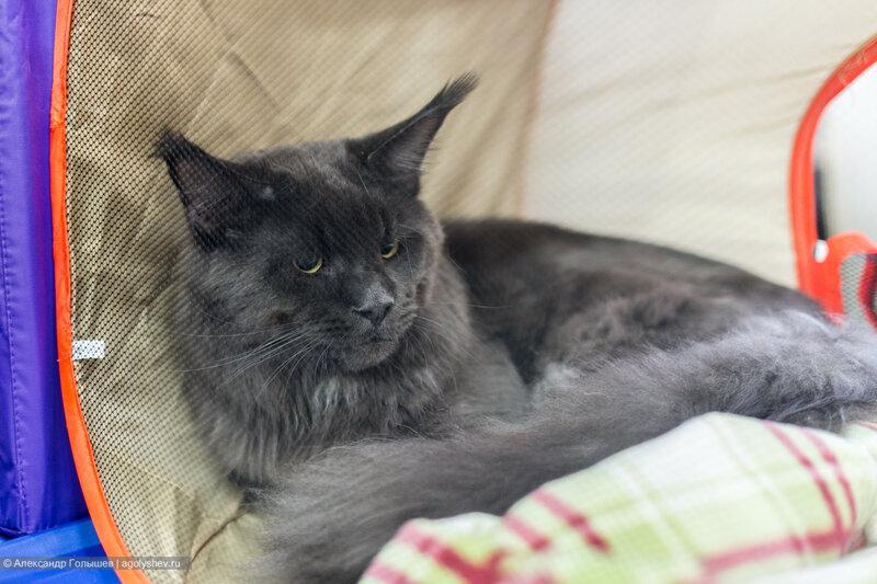 Нравятся мне коты породы Мейн-Куны