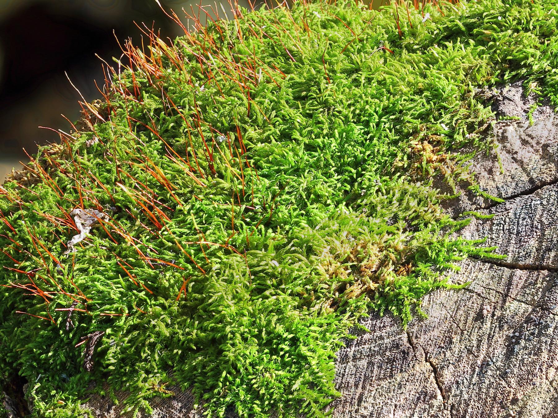 Лескея многоплодная (Leskea polycarpa)