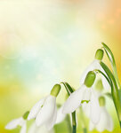 Snowdrop flowers on bokeh background