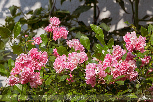 Я люблю все цветы, выпуск 73 | «Osiria» , «Fairy Roses» и «Circus Queen».