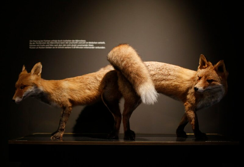 Stuffed copulating red foxes are displayed at exhibition