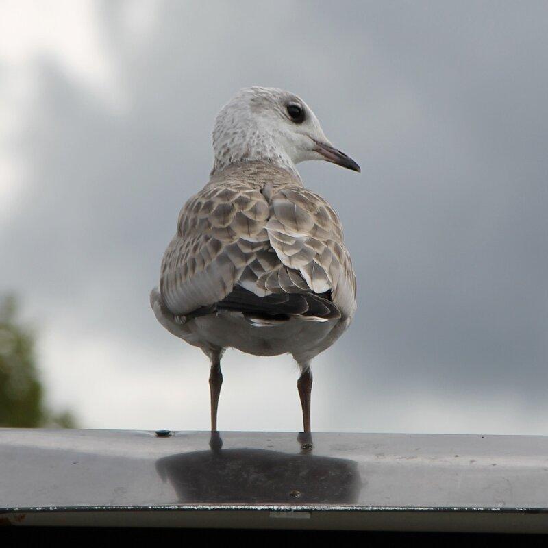 Норвежская чайка