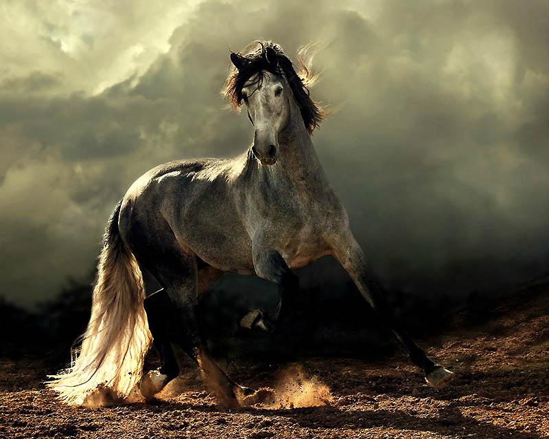1. Испанские лошади – Фантазия Самая распространенная масть андалузской лошади – серая, хотя бываю