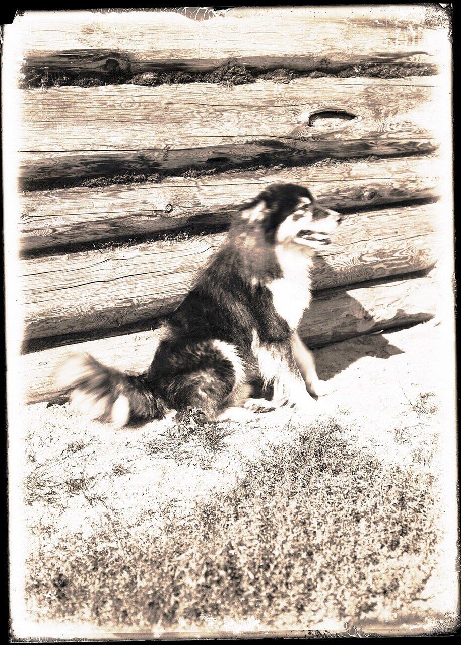 Остятская собака