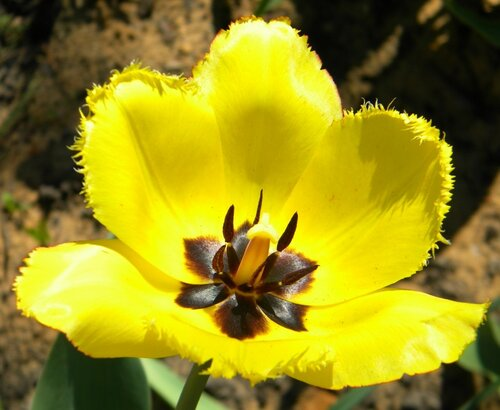 Жёлтый тюльпан*