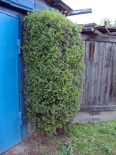 20110606 - Стрижка деревьев11
