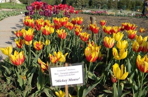 Выставка тюльпанов в ботаническом саду Таврического университета, Симферополь