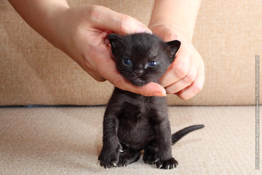 Бомбейский котенок продажа из питомника