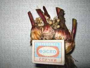 Клубнелуковицы гладиолусов.