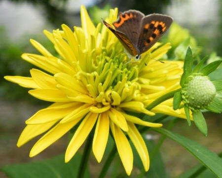 метелик на хризантему