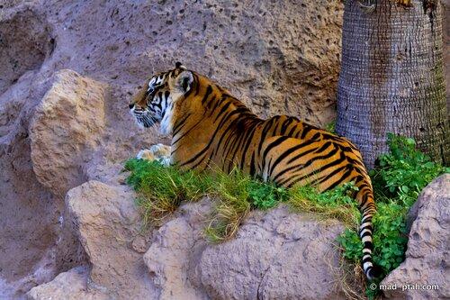 тигр, лоро парк