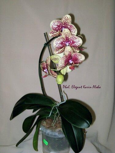 Цветет фаленопсис Элегант Карин Алоха