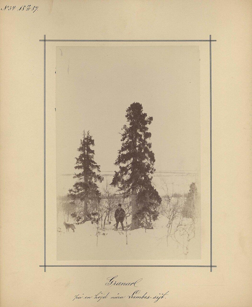 19.4.1889. Сосны возле Ламбовской