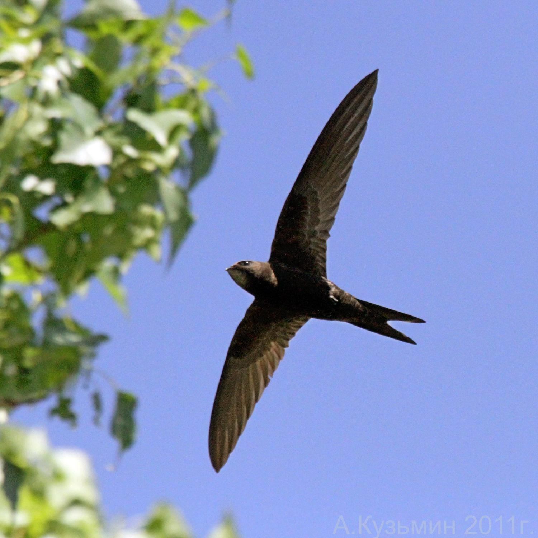 Черный стриж (Apus apus)