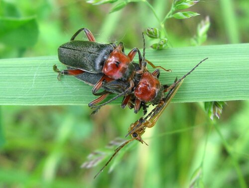 Cantharis rustica - Мягкотелка деревенская (красноногая) Автор фото: Олег Селиверстов