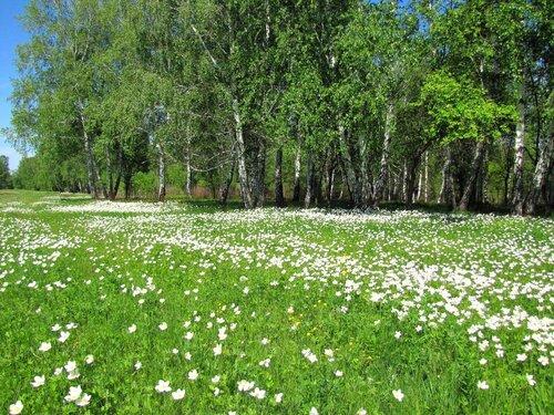 анемоны. ветреница. цветы. природа. весна. березы. деревья. пейзаж.