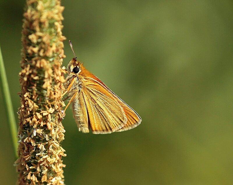 Толстоголовка-лесовик, Thymelisus sylvestris P.