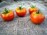 Помидор, томат,  сорт Лабрадор