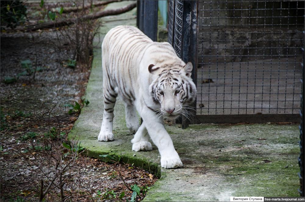 Тигры и львы из  Ялтинского зоопарка Сказка