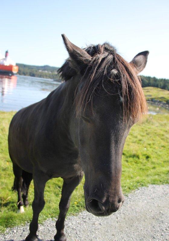 Авалдснес.Исландская лошадь