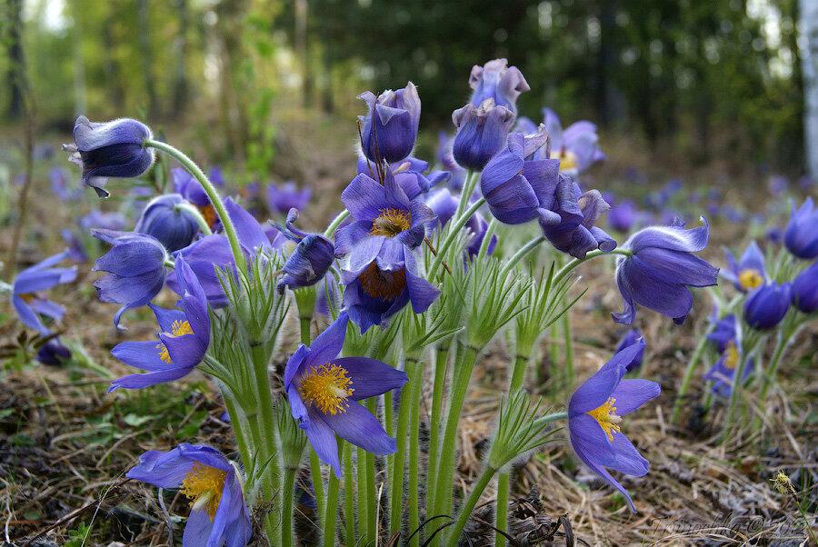 Фото цветов сон травы