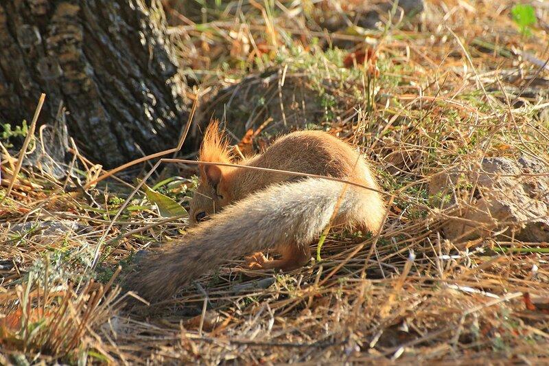 Белочка с пушистым хвостом что-то прячет среди пожелтевшей травы под корнями дерева в Парке Победы в Севастополе