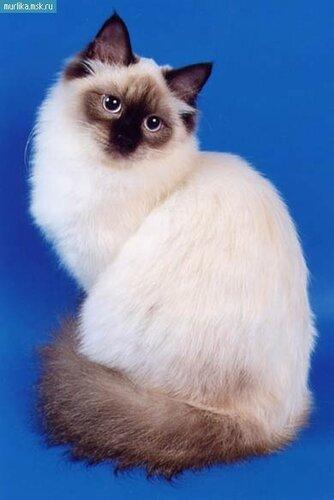 Балинез порода котов