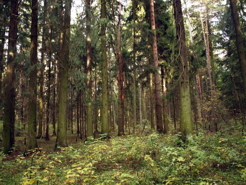 Зеленели дубы и островерхие пихты вековые