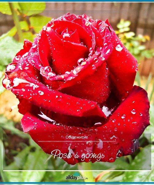 Роза и дождь